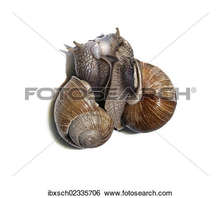 "Stock Images of ""Burgundy snails, Roman snails, edible snails or."