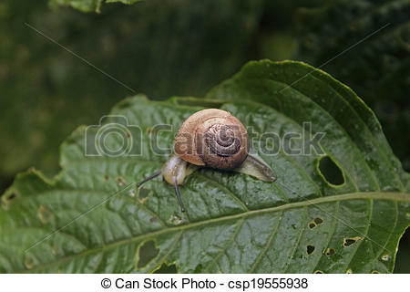 Stock Photos of Helicidae, Roman snail, Edible snail, Vineyard.