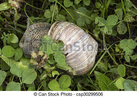 Stock Photography of Helix pomatia, Edible snail.