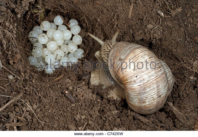 Escargot Stock Photos & Escargot Stock Images.