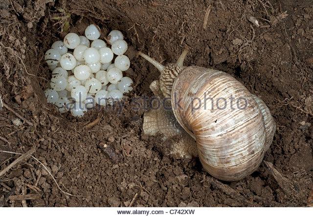 Escargot Stock Photos & Escargot Stock Images.