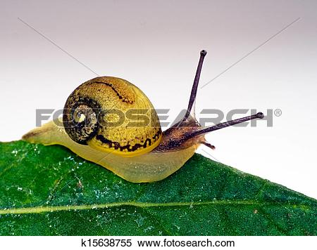 Stock Image of Edible snail on leaf k15638755.