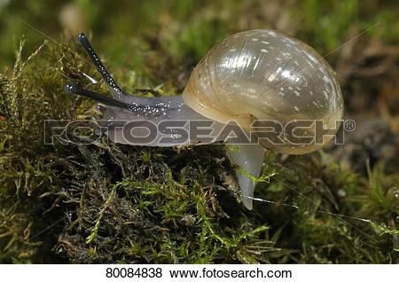 Pictures of DEU, 2008: Roman Snail, Escargot, Escargot Snail.