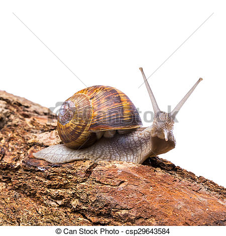 Pictures of edible snail.