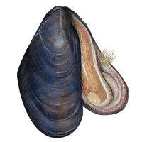 Mussel Clip Art Download.