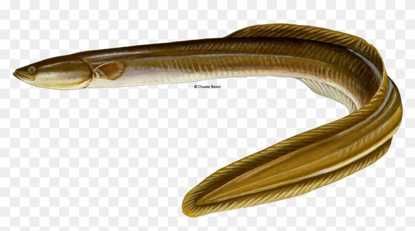 Transparent Eel.