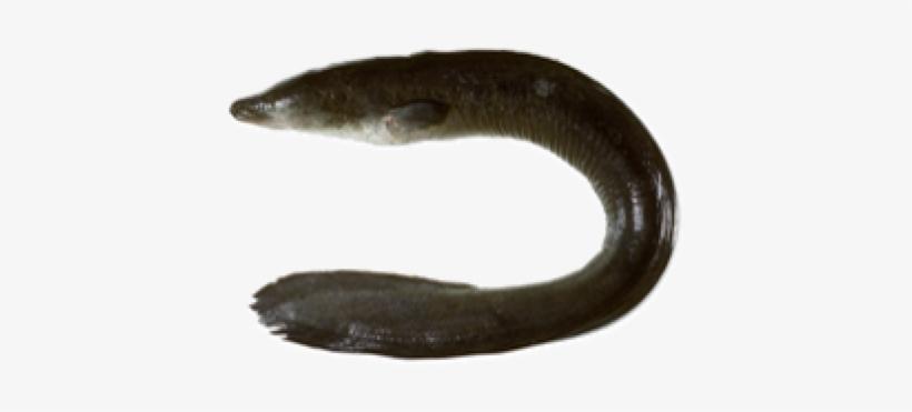 Fish,Fish,Mouth,Eel,Siren,Conger eel,Tail #4503950.