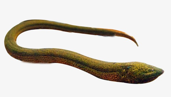 Eel Png (107+ images in Collection) Page 1.