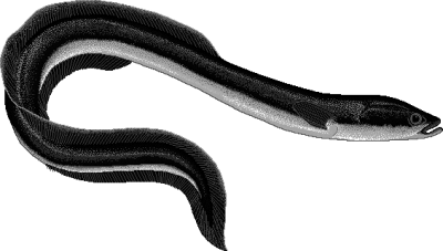 Eel PNG.