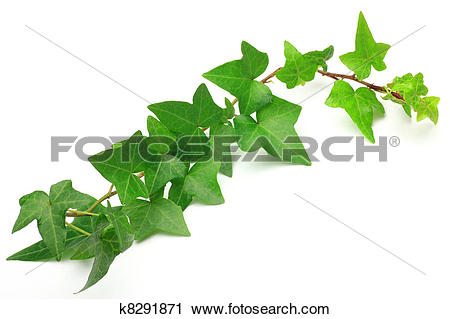 Stock Photography of ivy k8291871.
