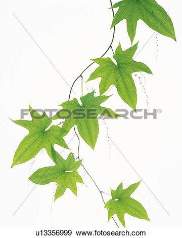 Stock Photograph of Leaves and Ivy, Close Up u13356999.