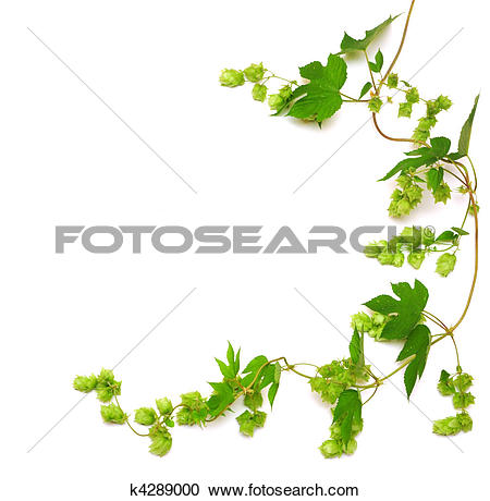 Stock Photography of hops plant twined vine k4289001.
