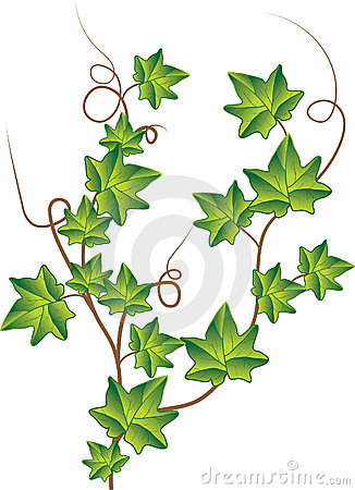 Branch Ivy Isolated White Stock Illustrations.