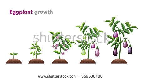 Eggplants Stock Vectors, Images & Vector Art.