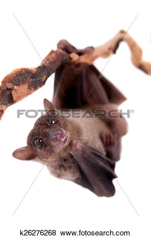 Pictures of Egyptian fruit bat isolated on white k26276268.