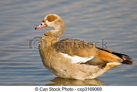 Stock Photographs of Egyptian Goose sitting in water csp3169069.