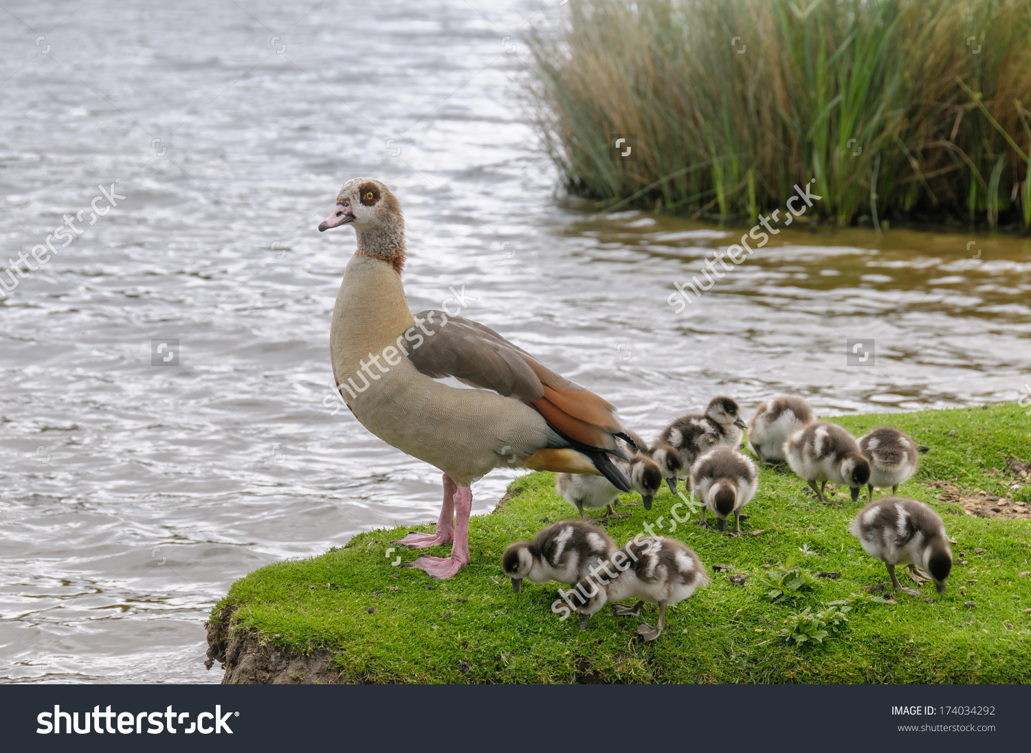 Egyptian Goose Baby Gooses Richmond Park Stock Photo 174034292.