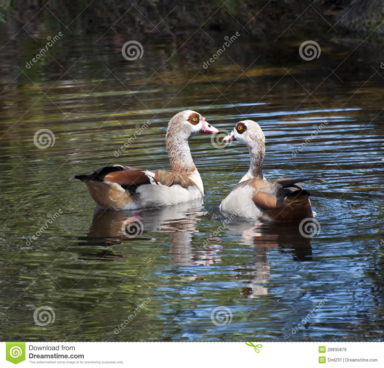 Pair Of Egyptian Geese Stock Photo.