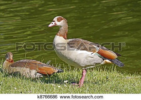 Stock Images of Egyptian Goose, Alopochen k8766686.