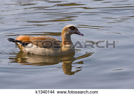 Stock Photo of Egyptian Goose k1340144.