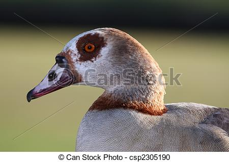 Stock Photography of Egyptian Goose.