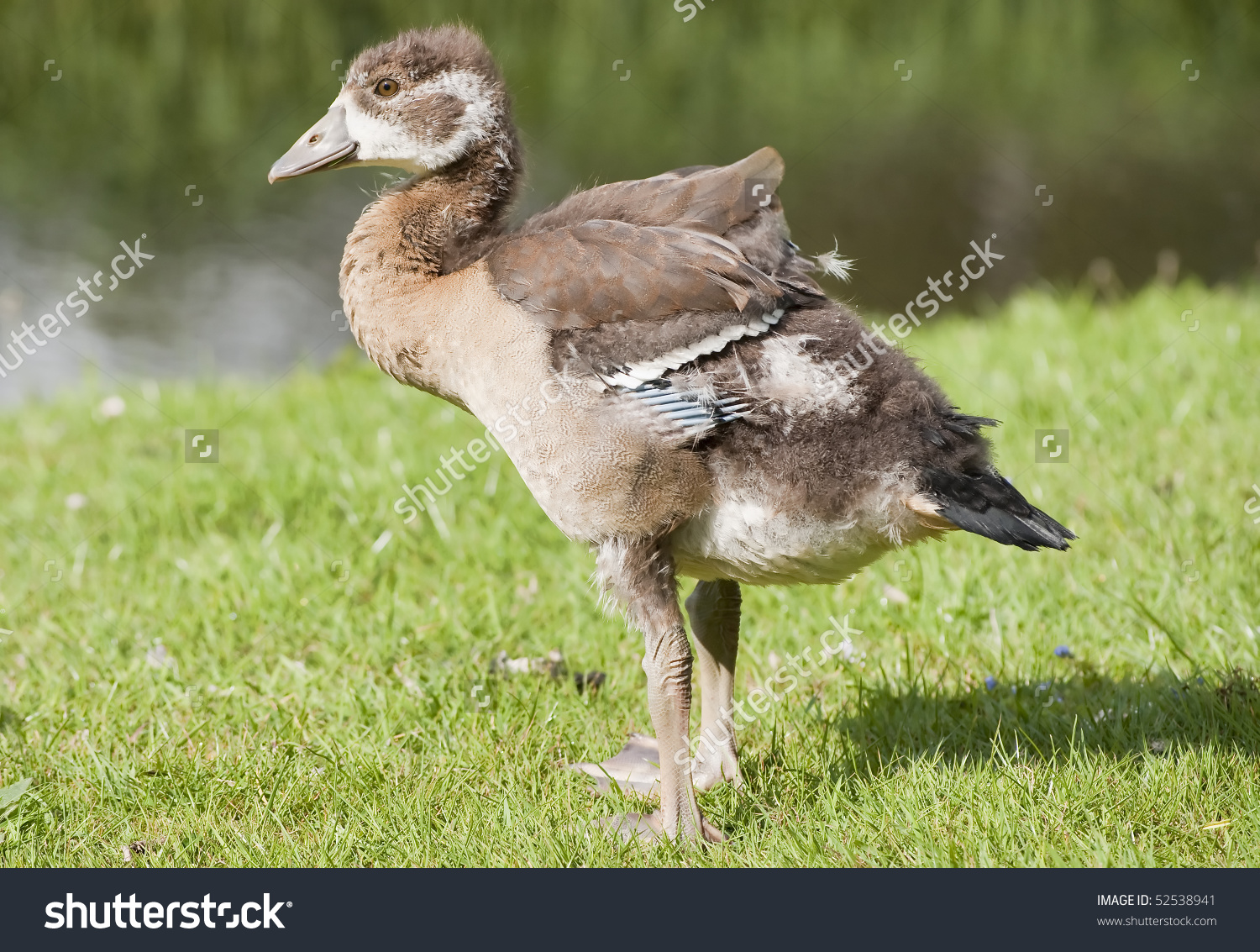 Egyptian Goose Juvenile Stock Photo 52538941.