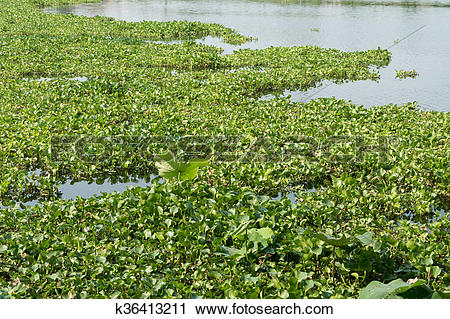 Stock Photography of water hyacinth in the river, eichhornia.