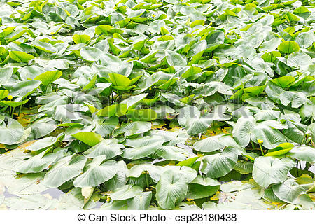 Stock Photos of Eichhornia crassipes is commonly known as water.