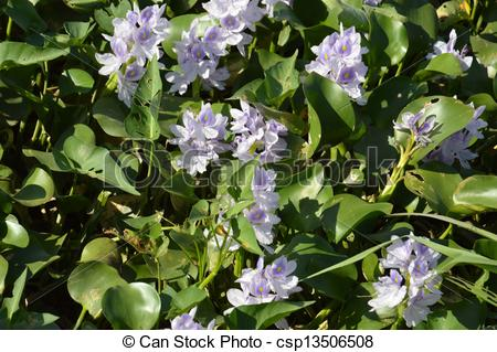 Stock Photography of water hyacinth (Eichhornia crassipes) in the.