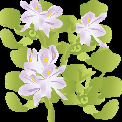 Eichhornia crassipes (Water Hyacinth).