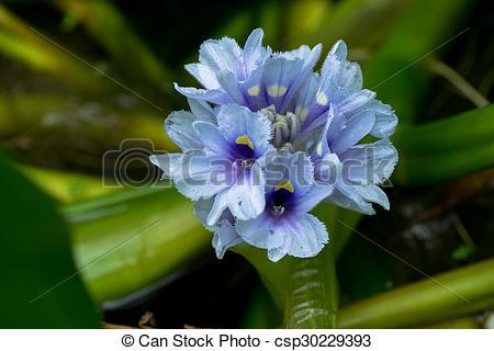 Stock Photographs of Water hyacinth, Eichhornia azurea.