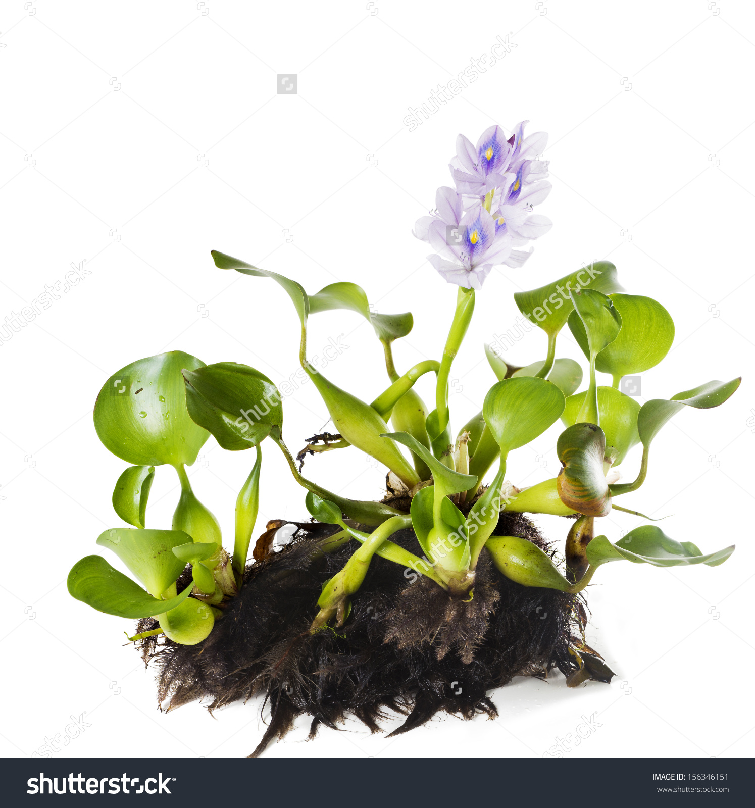 Common Water Hyacinth Eichhornia Crassipes Plant Stock Photo.