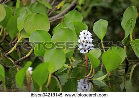 Stock Image of Water hyacinth (Eichhornia crassipes), blooming.