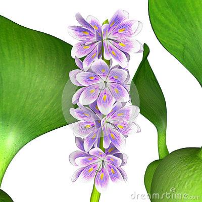 Closeup Flowering Water Hyacinth Eichhornia Crassipes Stock.