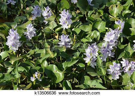 Stock Images of water hyacinth (Eichhornia crassipes) k13506636.