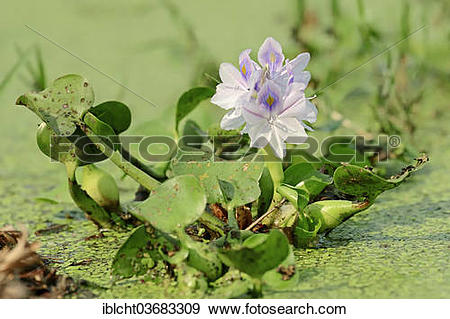 """Stock Photograph of """"Common Water Hyacinth (Eichhornia crassipes."""