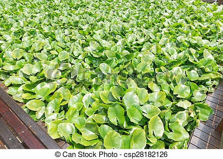 Stock Photo of Eichhornia crassipes is commonly known as water.