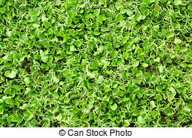 Stock Photos of water hyacinth (Eichhornia crassipes) in the pond.