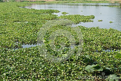 Water Hyacinth (Eichhornia Crassipes) Stock Photo.