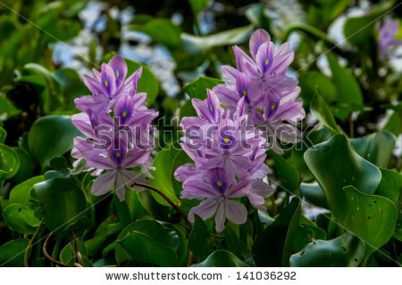 Eichhornia Crassipes Stock Photos, Royalty.