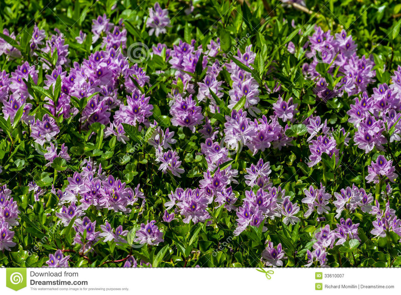 A Large Stretch Of Beautiful Purple Flowering Water Hyacinth.