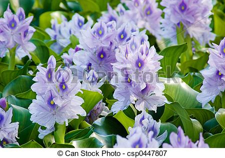 Picture of Water Hyacinth.