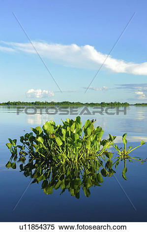 Stock Image of Water hyacinth (Eichhornia crassipes), Pantanal.