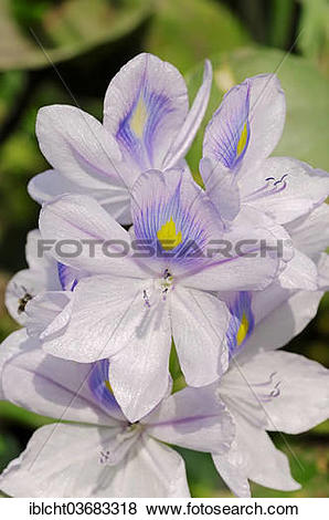 Pictures of Common Water Hyacinth (Eichhornia crassipes), flowers.