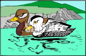 Stellers_Eider_Ducks_Swimming_On_A_Lake_Royalty_Free_Clipart_Picture_100925.