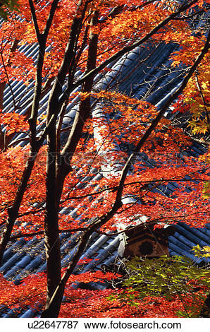 Picture of Japanese maple tree, Eikan.