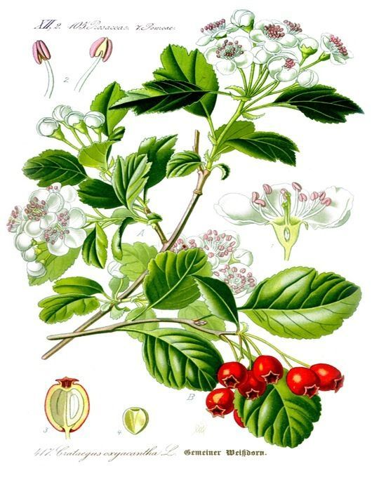 Details about ENGLISH HAWTHORN MAYFLOWER PLANT ILLUSTRATION.