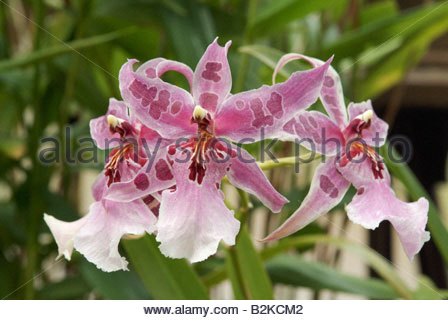 Tropical Orchid Orchidaceae Stock Photos & Tropical Orchid.