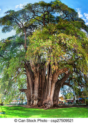 Stock Photo of Montezuma cypress Tree of Tule, Mexico.