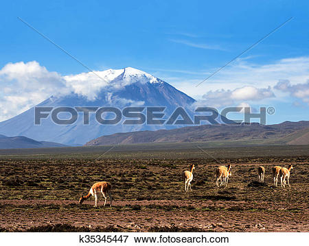 Picture of Vicugna is a wild South American camelid, which live in.